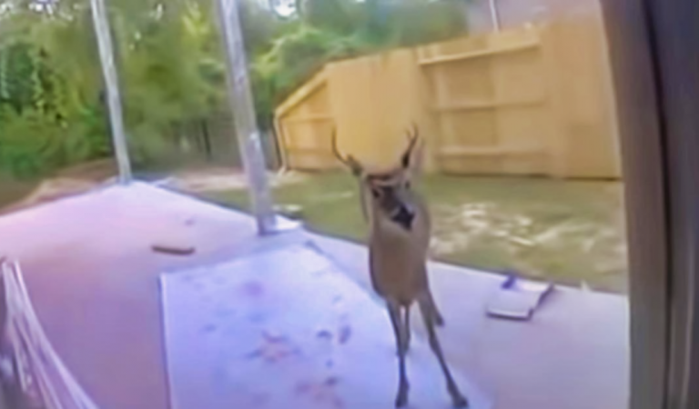 Deer shows up in the backyard and lets people pet him
